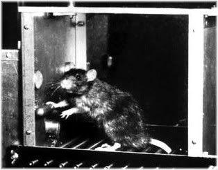 rat pressing lever