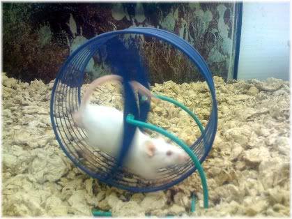 rat running on wheel
