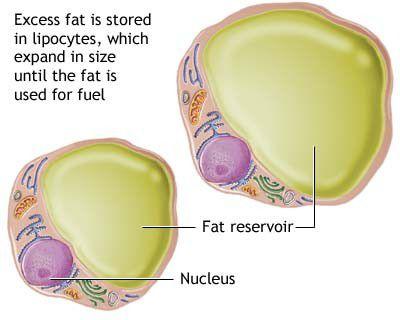 lipocytes