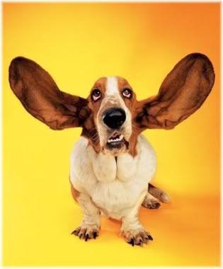dog ears listening