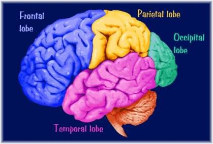cerebral cortex showing frontal, temporal, parietal and occipital lobes.