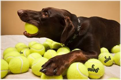 dog chewing tennis ball