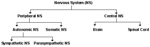 diagram of nervous system showing peripheral and central nervous system components